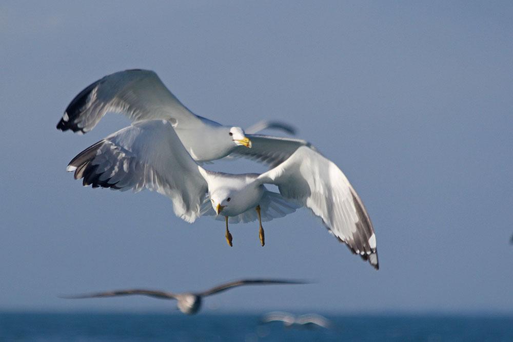 oiseaux m 1